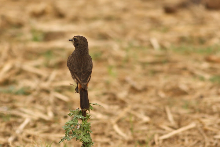 Pied Bushchat - Female