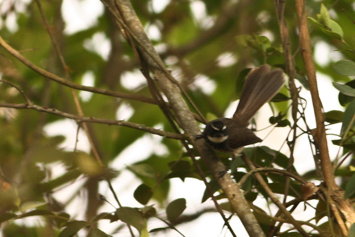 White Browed Flycatcher