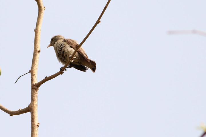 Tickells Flowerpecker