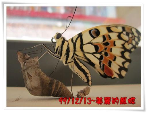 田園幼稚園 無尾鳯蝶