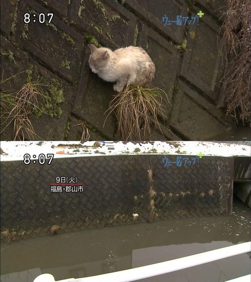Cat Survives Tsunami On A Wall