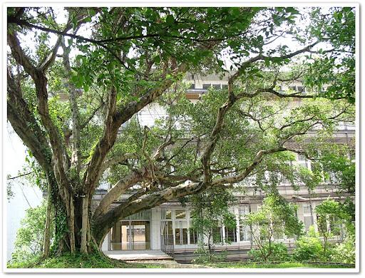 運動中心二樓外的榕樹