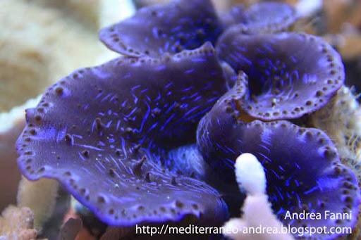 Tridacna maxima in acquario marino di barriera