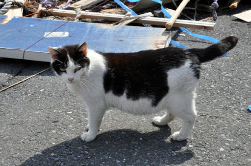 cute pregnant cat island tashirojima after earthquake