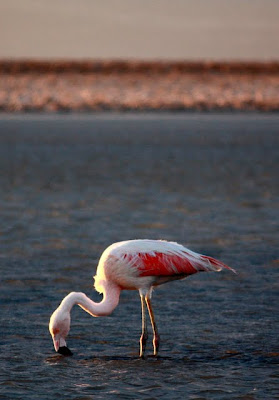 Atacama Desert flamingo in the salt flats in Chile