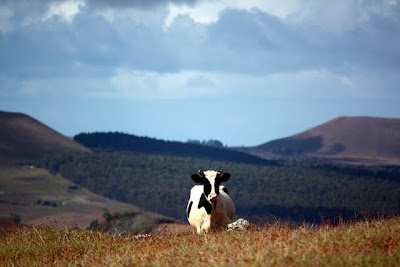 Cow on Easter Island during a hiking trip