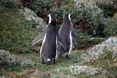 Penguins at Seno Otway in Chile
