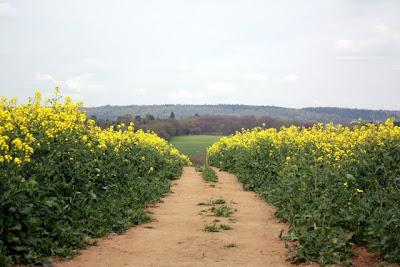 路径在一个黄色的花在英国萨里