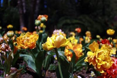 Tulips at Ferrari-Carrano winery in Sonoma California