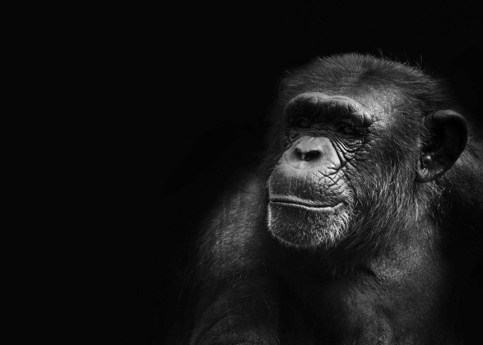 low key chimp