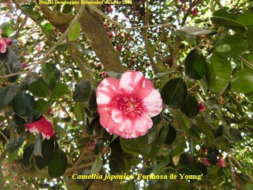 Camellia show in st james santiago de compostela 2011 2 5 6 - Cuidados de la camelia japonica ...