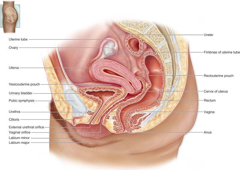 Sistem Reproduksi 2 Reproduksi Pada Manusia