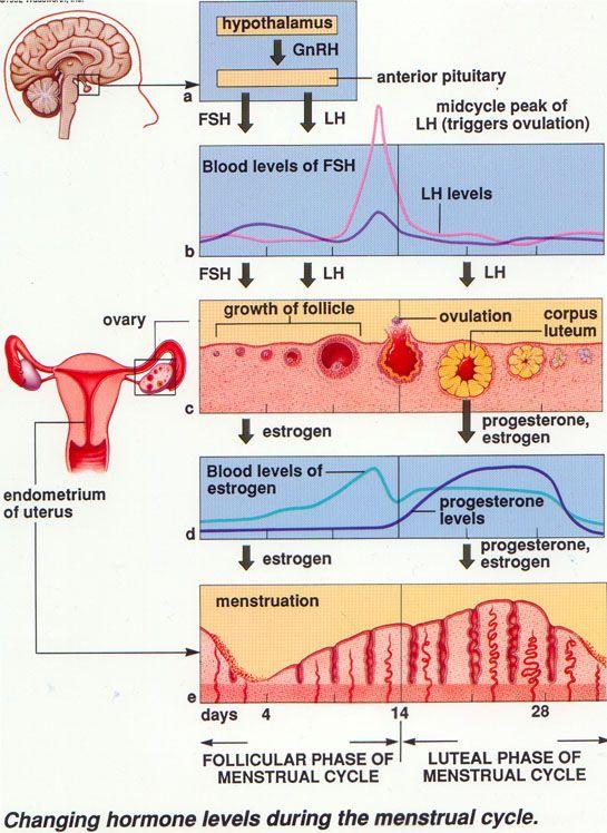 Sistem Reproduksi (3) : Daur menstruasi