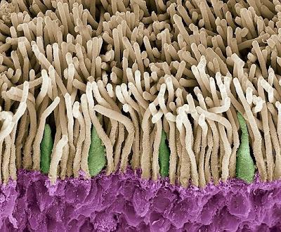 sel%20fotoreseptor%20retina Foto foto mikroskop elektron (1) : Sel dan jaringan makhluk hidup