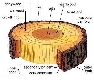 crosstree Jaringan pada tumbuhan (1) : Jaringan meristem