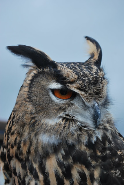 This is a photo of an Eagle Owl at Terranea Resort Palos Verde, CA.