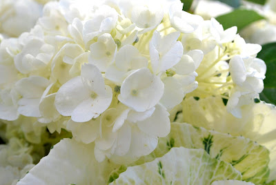 This is a photo of white hydrangeas in a wedding arrangement at Terranea Resort, Palos Verde, CA.