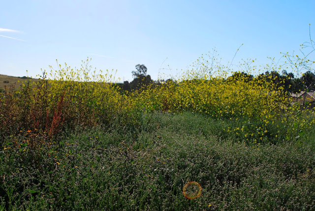 This is a photo of wild mustard growing in San Diego, CA.