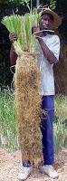 Senegal - Planta con raíces de seis meses