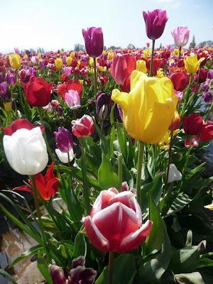 Wooden Shoe Tulip Farm Tulip Festival