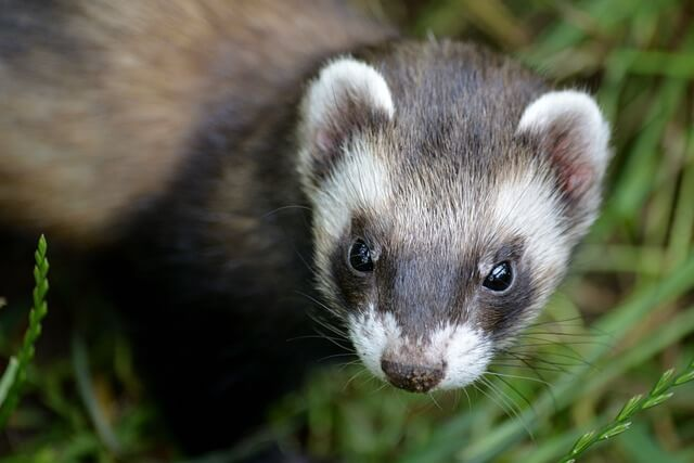 Can Ferrets Eat Beef?