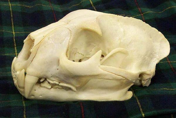 череп пумы