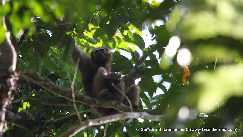Female Hoolock Gibbon with Baby