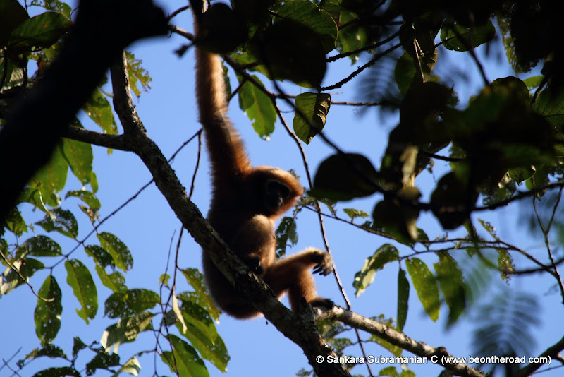 Hoolock Gibbon bathed in the golden rays of the sun