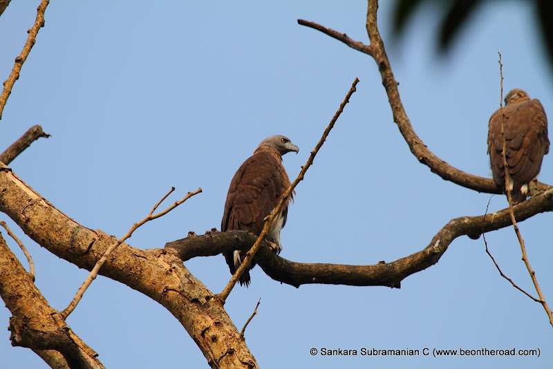 Grey Headed Fishing Eagle