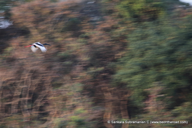 Black Necked Crane in Flight - A Blurry Motion