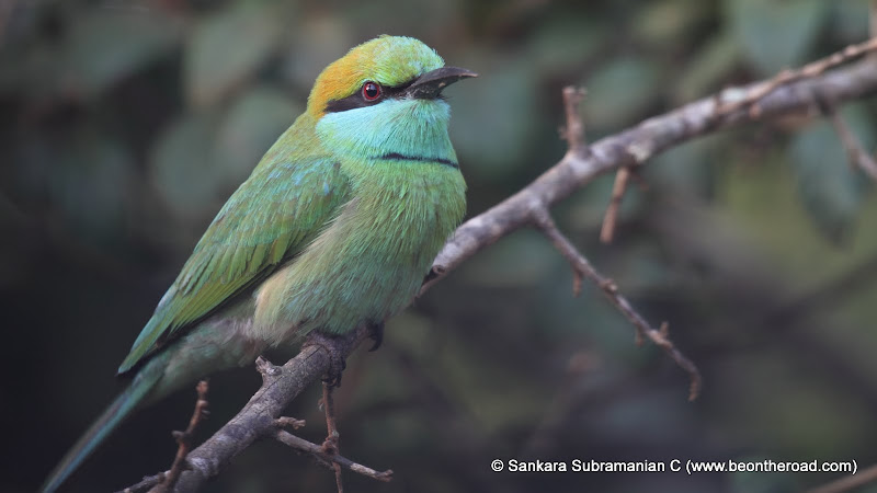 Green Bee Eater - 2