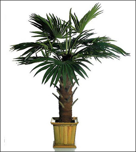 potted kentia palm trees