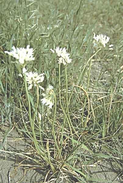 Wild onion (Allium) spp.