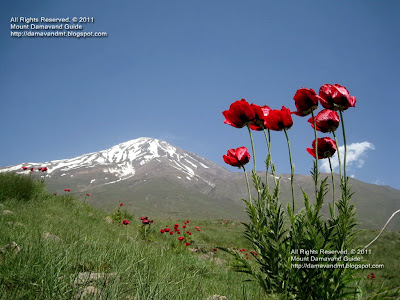 Damavand Poppy