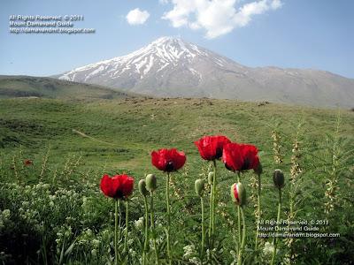 Damavand poppy field in spring