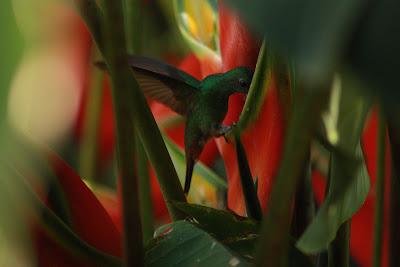 Colibrí en Costa Rica