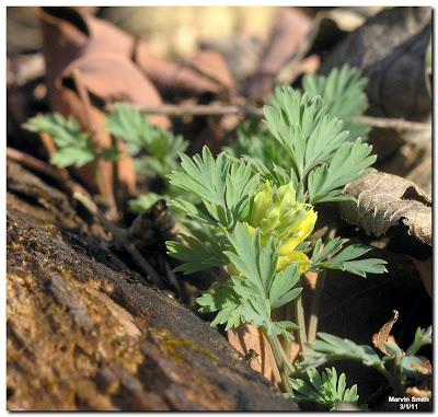 Yellow Fumewort (Corydalis flavula)
