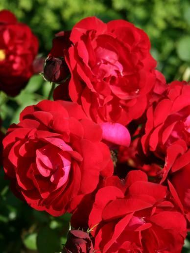 Rosa 'Lilli Marleen' - Floribundaroos | De Tuinen van Appeltern