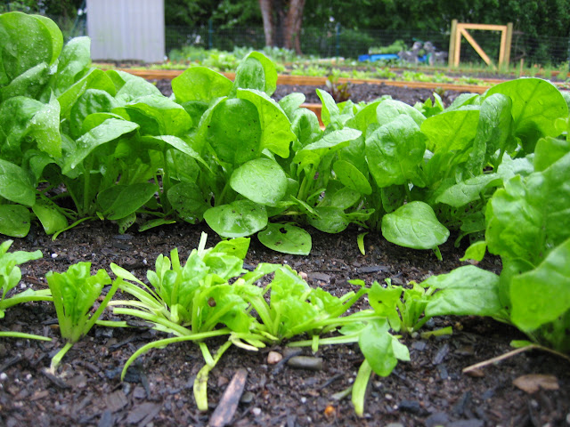 spinach row