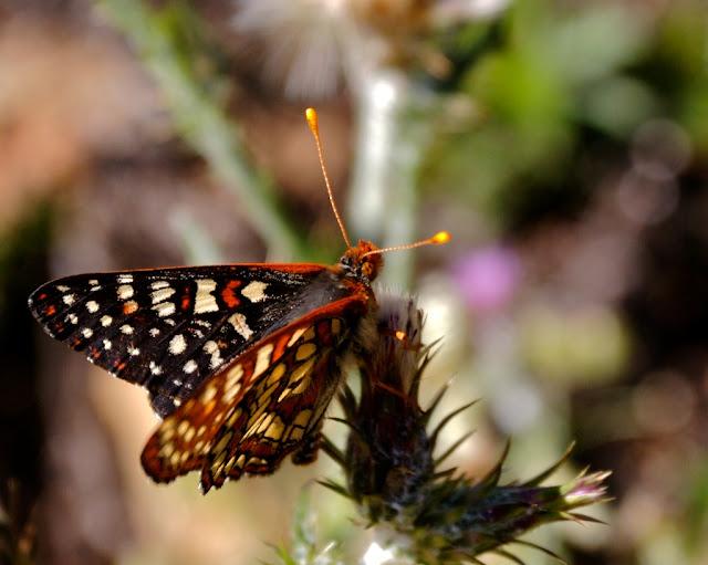 mount tamalpais butterfly