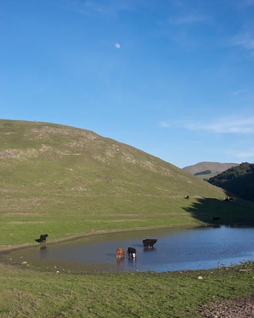 Lake Cows