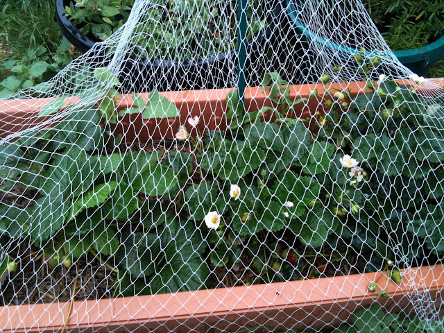 strawberries growing in used coffee compst