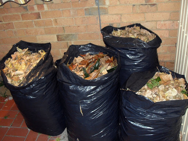 Collecting leaves in plastic bags for composting