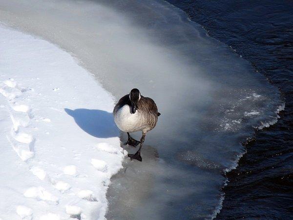 goose walking on ice