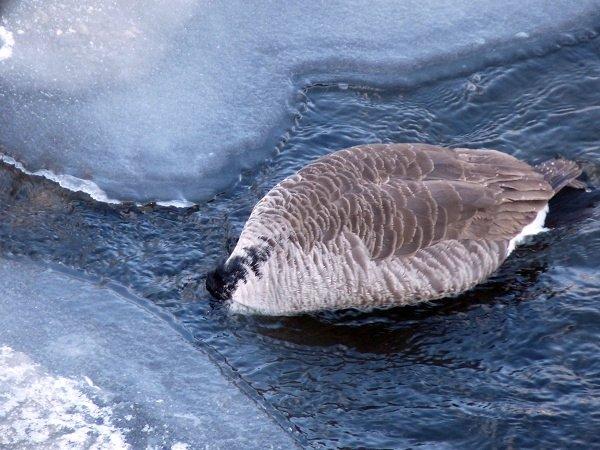 goose bobbing for something to eat