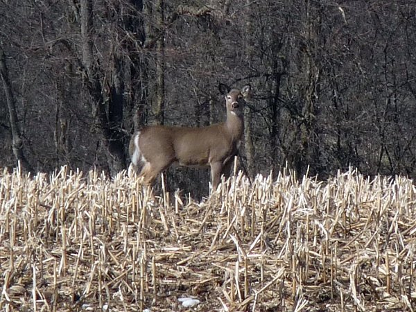 deer in corn stuble