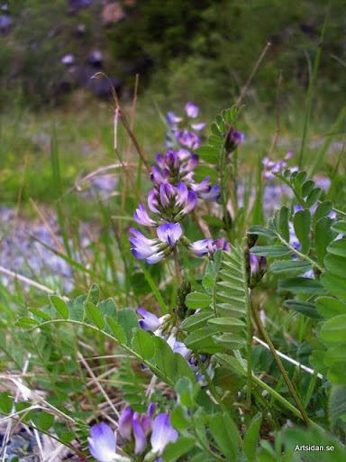 Fjällvedel Astragalus alpinus