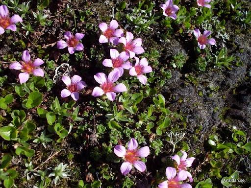 Purpurbräcka Saxifraga oppositifolia