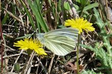 Papallona blanca verdinervada