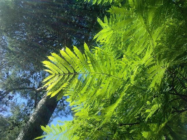 Ramas árboles acacias